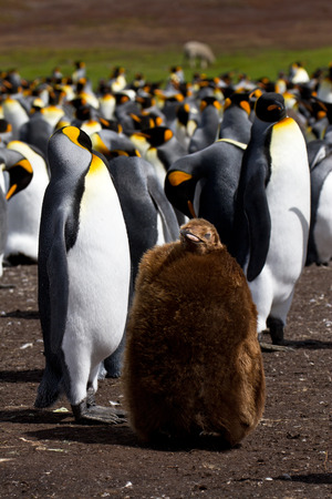 penguin colony: King Penguin colony with chick