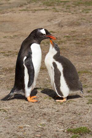 gentoo: Gentoo penguin mother and her chick