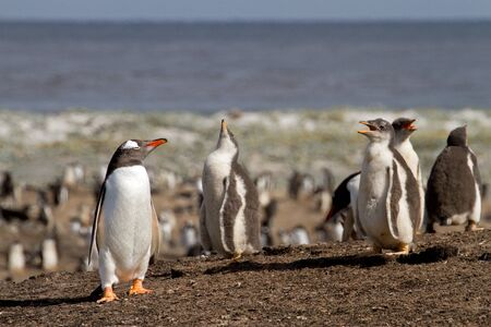 penguin colony: Gentoo Penguin colony Stock Photo