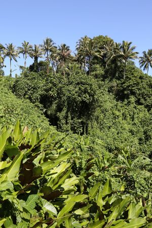 Jungle, Vanuatu Stock Photo