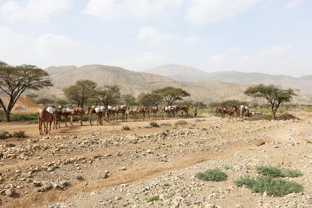 Sel Camel Chameaux caravane transportant le sel dans Danakil désert de l'Afrique, l'Ethiopie