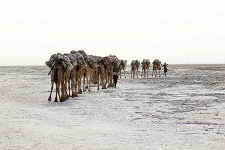 Salt Camel Camels caravan carrying salt in Africas Danakil Desert, Ethiopia Editorial