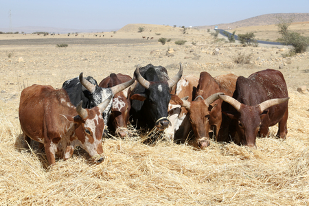 ethiopian ethnicity: Ethiopian farmer using his cows for threshing harvest