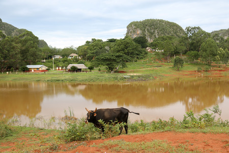 Cuba, Vinales, Lake with cow