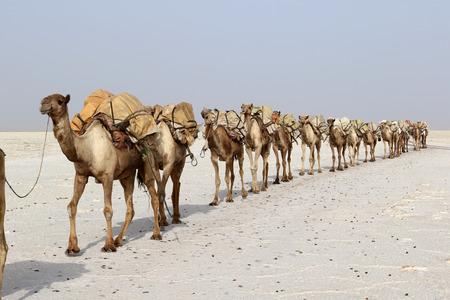 Salt Camel Camels caravan carrying salt in Africa's Danakil Desert, Ethiopia