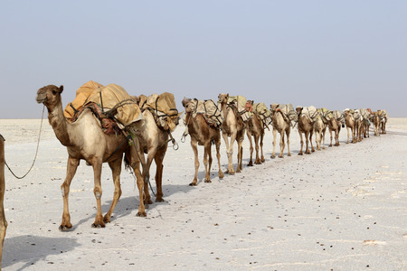 Salt Camel Camels caravan carrying salt in Africa's Danakil Desert, Ethiopia