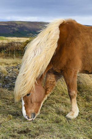 Portrait of a brown Iceland pony