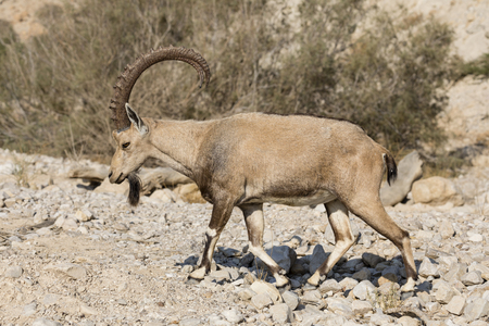 Nubian ibex, Ein Gedi at the Dead Sea, Israel