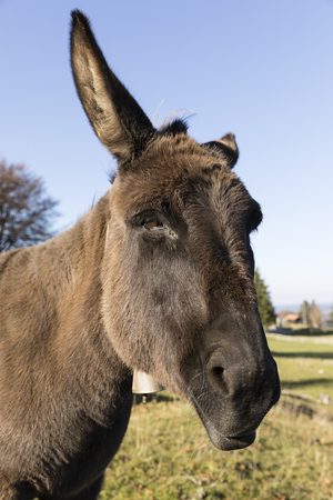 Portrait of a gray donkey looking into the camera, Switzerland