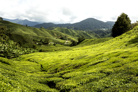 Green Tea Plantations at Cameroon Highlands in Malaysia