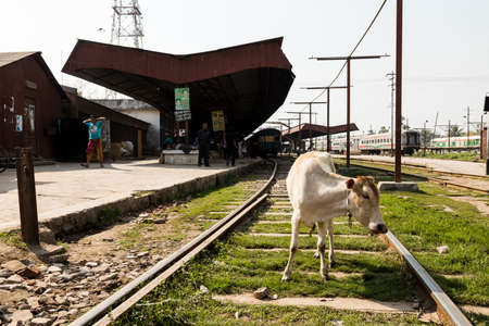 Khulna, Bangladesh, February 28 2017: A cow stands on the tracks in the train station of Khulna