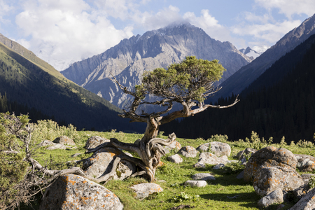 Valley of Altyn-Arashan in the late afternoon with a creek and a small old pine in the foreground in Kyrgyzstan
