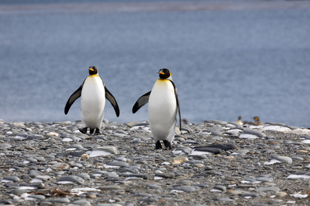 Two king penguins walk on the pebble beach on Salisbury Plain on South Georgia in Antarctica