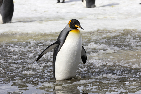A king penguin waddles in the slush on Salisbury Plain on South Georgia in Antarctica