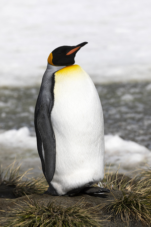 A king penguin rests on a small mound on Salisbury Plain on South Georgia in Antarctica