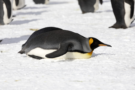 A king penguin has gone to rest on Salisbury Plain on South Georgia in Antarctica