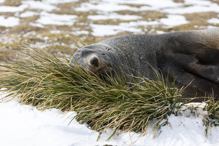 A fur seal rests on a tuft of grass on Salisbury Plain on South Georgia in Antarctica