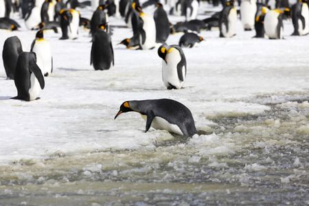 A king Penguin tries to get ashore from the slush on Salisbury Plain on South Georgia in Antarctica