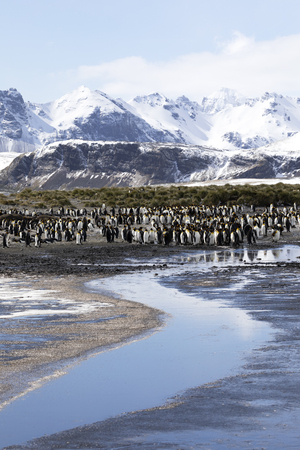 A colony of king penguins on Salisbury Plain on South Georgia in Antarctica Stock Photo
