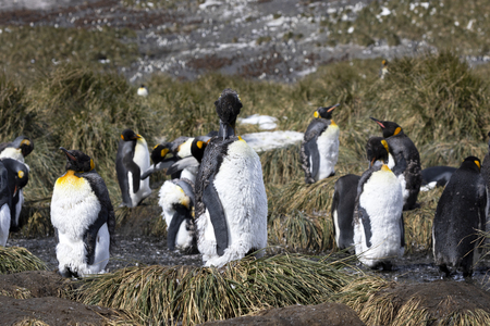 A young king penguin moult and removes his old plumage with his beak on Salisbury Plain on South Georgia in Antarctica