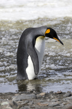 A king penguin stands in slush on Salisbury Plain on South Georgia in Antarctica Stock Photo