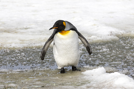 A juvenile king penguin waddles in the slush on Salisbury Plain on South Georgia in Antarctica