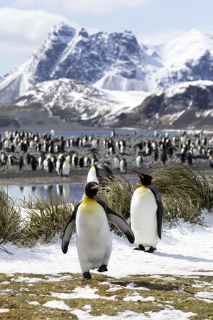 Two king penguins are in the foreground in front of their colony on Salisbury Plain on South Georgia in Antarctica Stock Photo