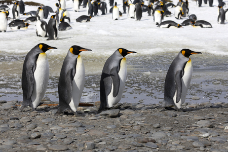Four king penguins walk in a row on Salisbury Plain on South Georgia in Antarctica Stock Photo