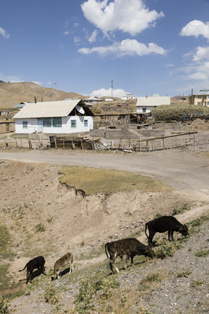 Residential house with cows of border town Sary-Tash in Kyrgyzstan to neighboring Tajikistan on the Pamir Highway in Central Asia