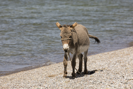 Young gray donkey trots along the shore of Song Kul lake in Kyrgyzstan Stock Photo
