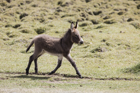 Young donkey runs over a meadow