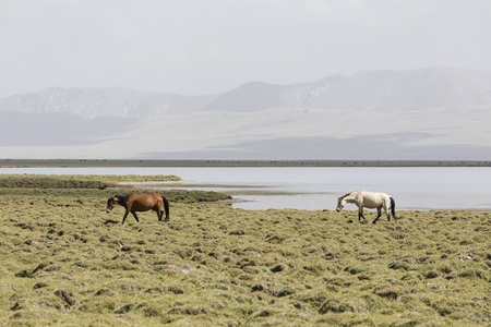 Two horses run from Song Kul lake in Kyrgyzstan towards Steppe Banco de Imagens