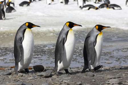 Three king penguins walk in a row on Salisbury Plain on South Georgia in Antarctica Standard-Bild