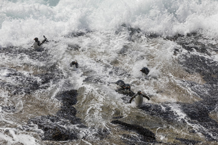 A group of rockhopper penguins trying to land in the strong surf on Saunders Island, Falkland Islands