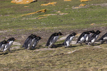 Group of rockhopper penguins walk up the hill to their colony on Saunders Island, Falkland Islands