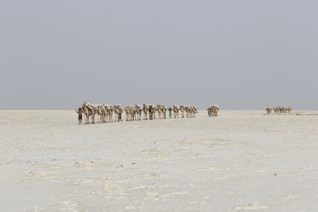 Danakil, Ethiopia, February 22 2015 : Camels carry salt blocks in the hot and inhospitable Danakil desert to the next village in Ethiopia Editorial