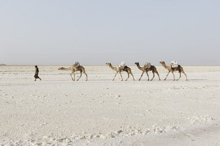 Danakil, Ethiopia, February 22 2015 : Afar men are leading a camel caravan transporting salt blocks from the Danakil Desert to the nearest village Editorial