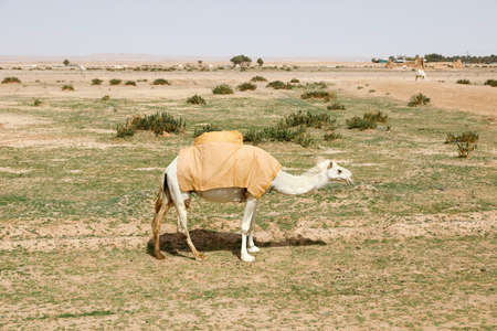 A camel stands on a parched meadow and eats grass, Saudi Arabia