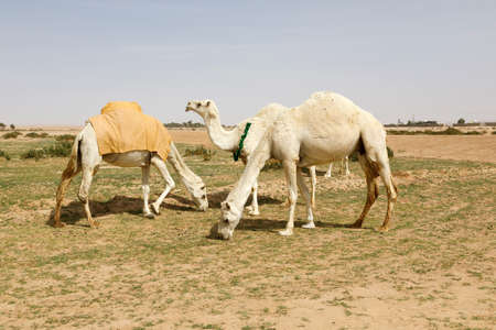 Several camels stand on a sandy meadow in Saudi Arabia and eat grass