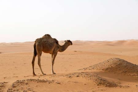 A camel stands in the desert of Saudi Arabia