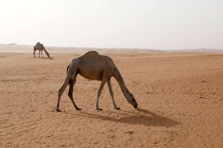 Two camels are looking for food in the desert of Saudi Arabia