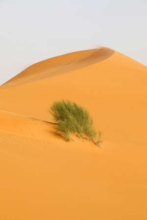 Gold colored sand dune with a bush in Saudi Arabia