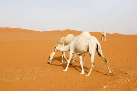 A camel searches for food in the desert of Saudi Arabia