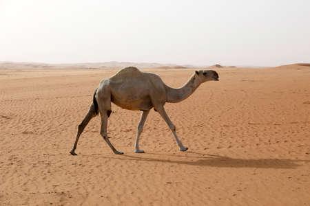 A camel runs through the desert in Saudi Arabia Imagens