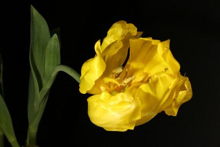 Yellow tulip on the black background, still life