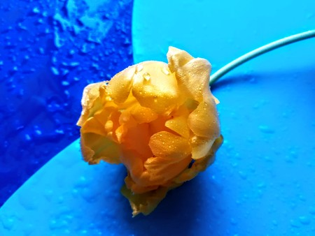 Yellow flower on colored background, still life Archivio Fotografico