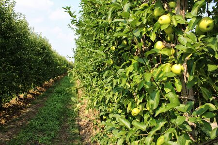 Apples grown in agriculture, Organic products Archivio Fotografico - 129342857