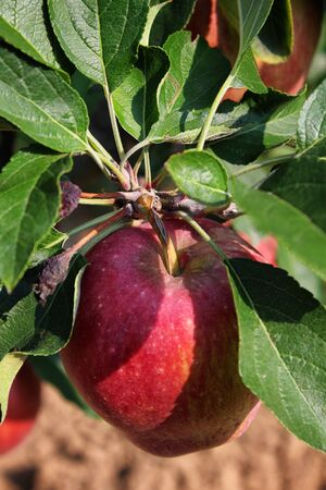 Apples grown in agriculture, Organic products Archivio Fotografico - 129342859