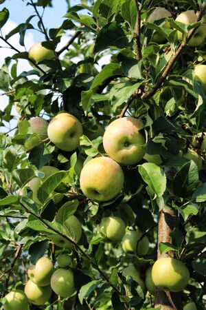 Apples grown in agriculture, Organic products Archivio Fotografico - 129342862