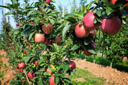 Apples grown in agriculture, Organic products Archivio Fotografico - 129342866
